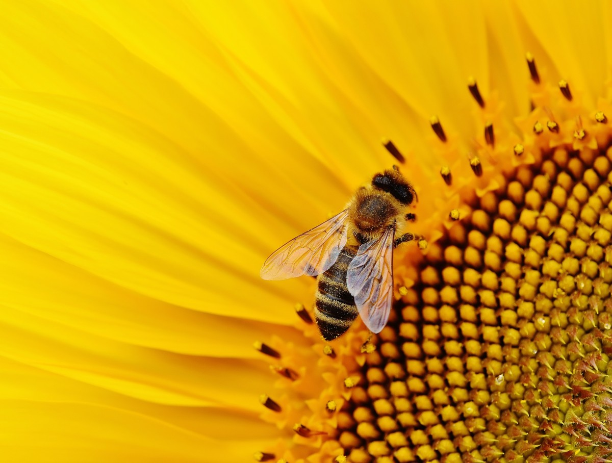 Bees can pollinate from single-bloomed flowers easier than other flowers.