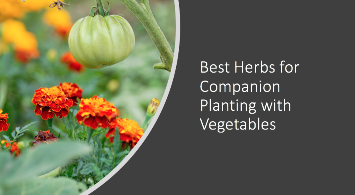 Best Herbs for Companion Planting With Vegetables