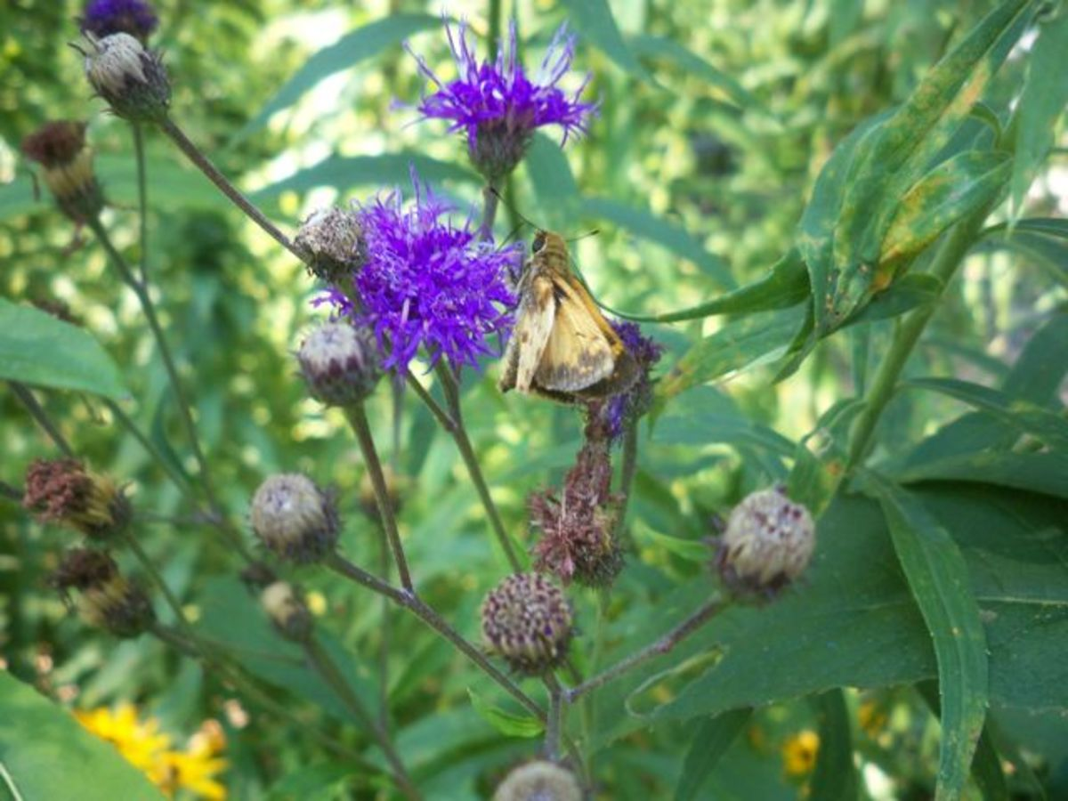 Plant ironweed to attract butterflies