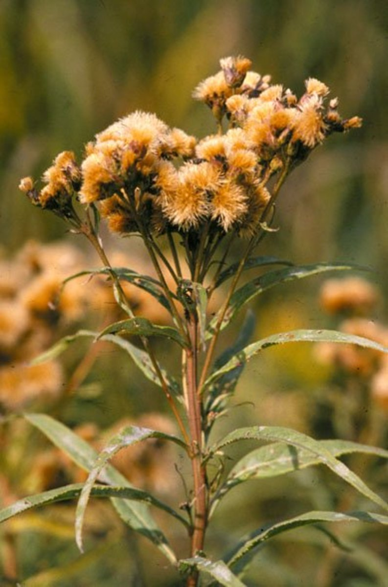 The seed heads are a rusty yellow color similar to rusty iron.