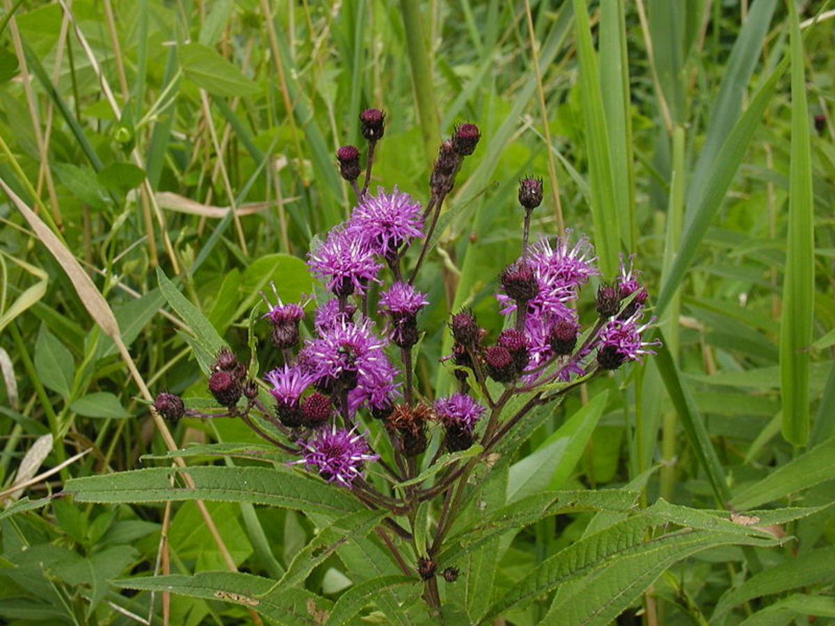 How to Grow New York Ironweed