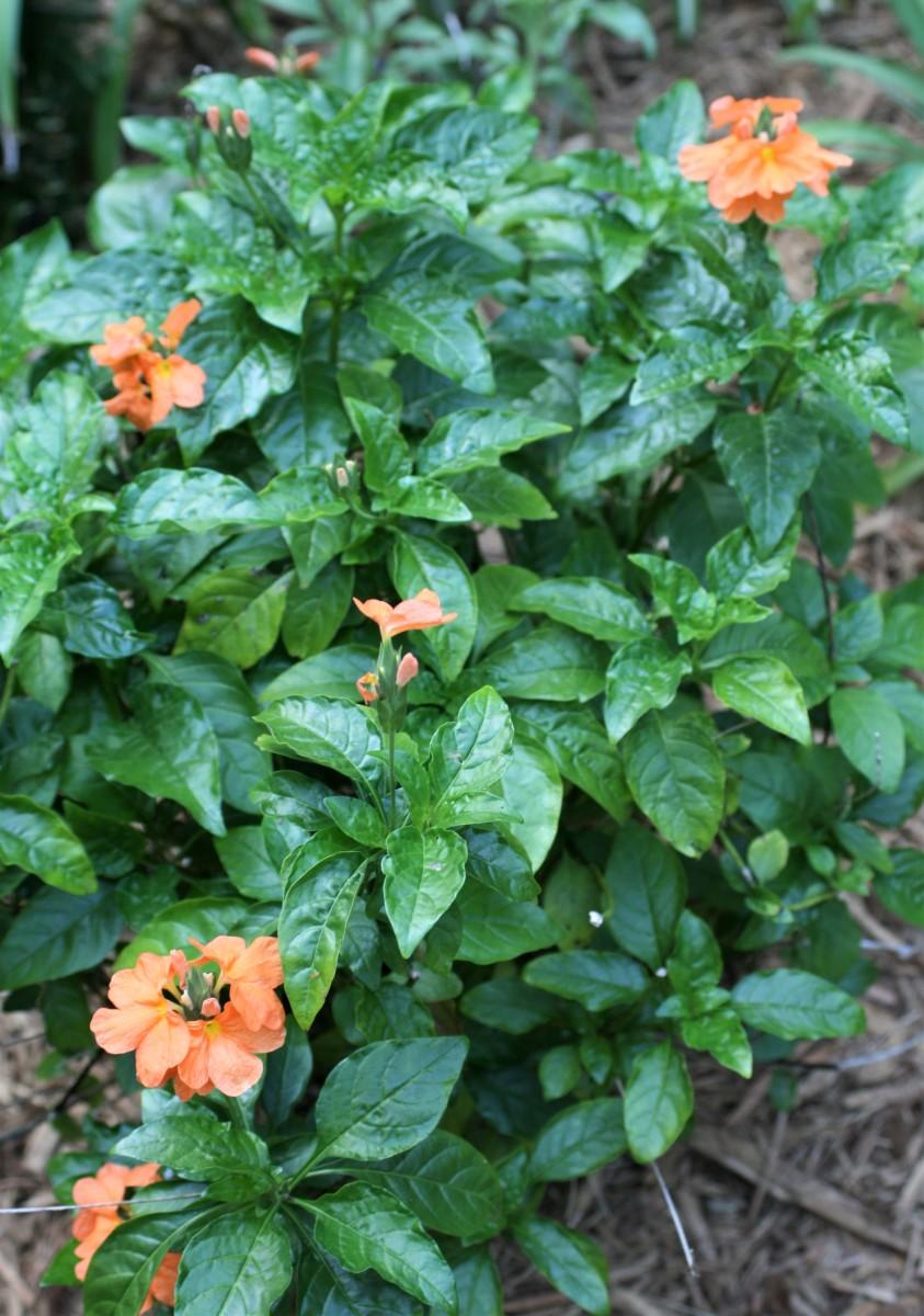 Firecracker flower (Crossandra infundibuliformis)