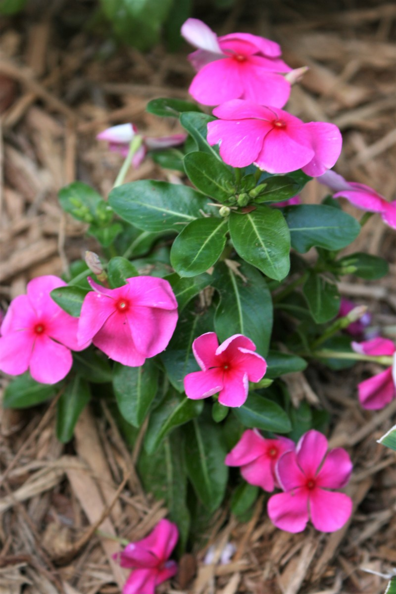 Rosy Periwinkle (Catharanthus roseus)
