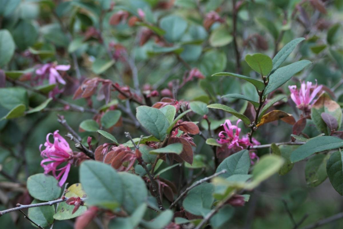 Chinese fringe flower (Loropetalum chinense)