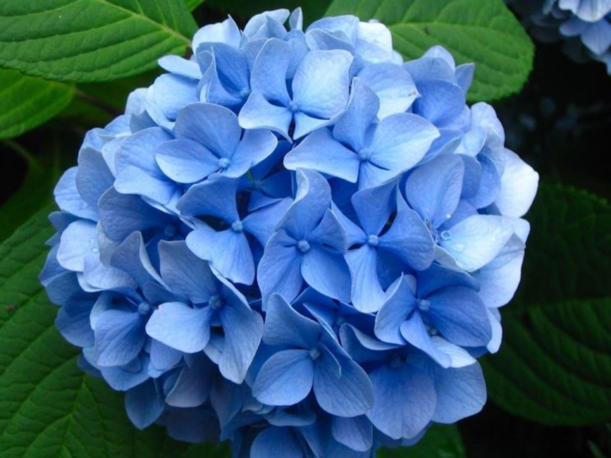 True blue hydrangeas require acidic soil (pH of 5.5 or lower).
