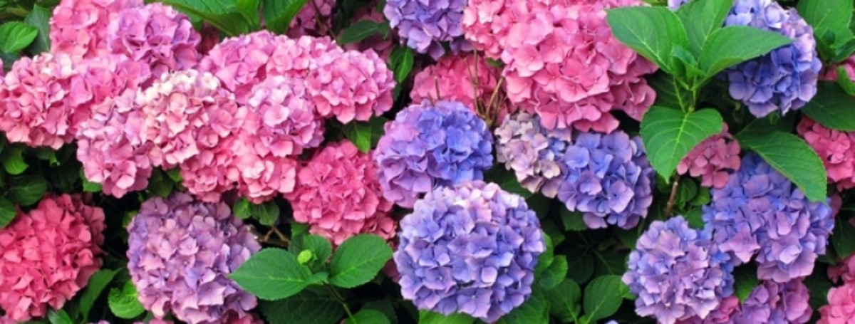 Soil with a pH below 5.5 (strongly acidic) produces blue flowers, while a higher pH tends to favor pink flowers.