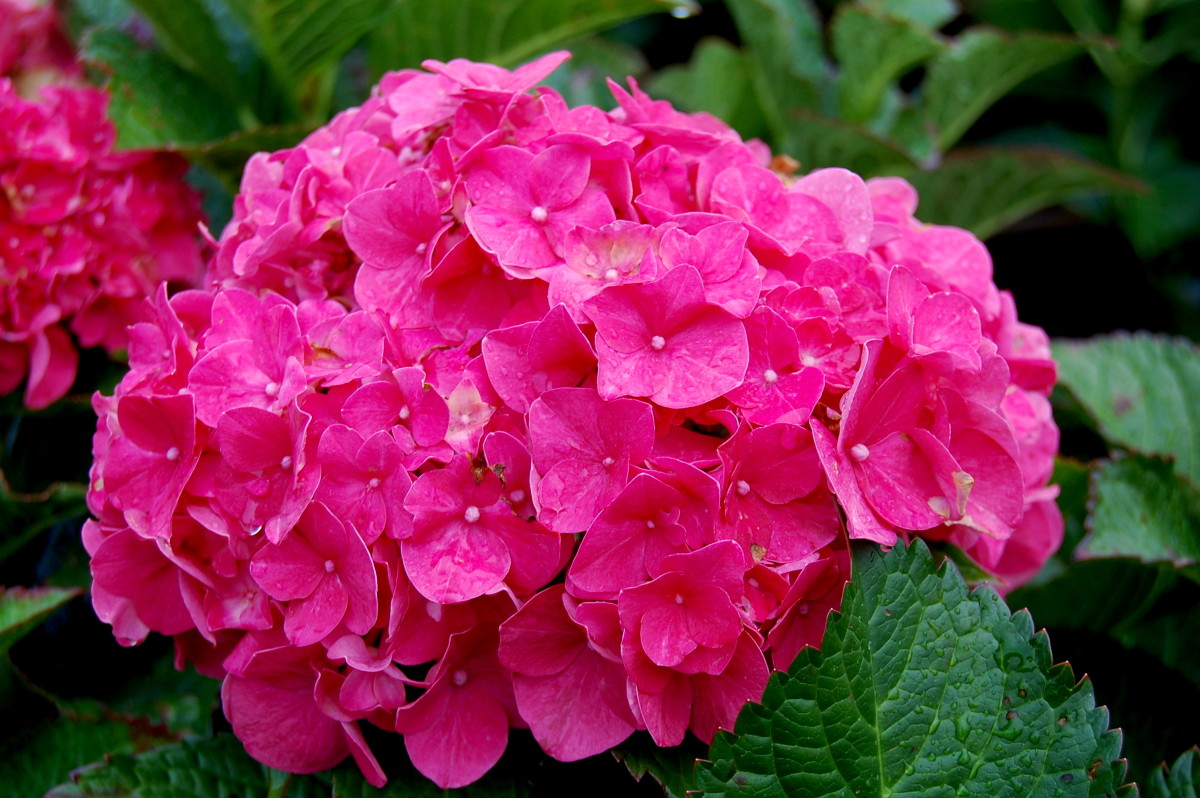 The Forever Pink hydrangea, although a shorter variety, explodes with color in the form of large, bright pink clusters. It blooms in mid-summer to fall.