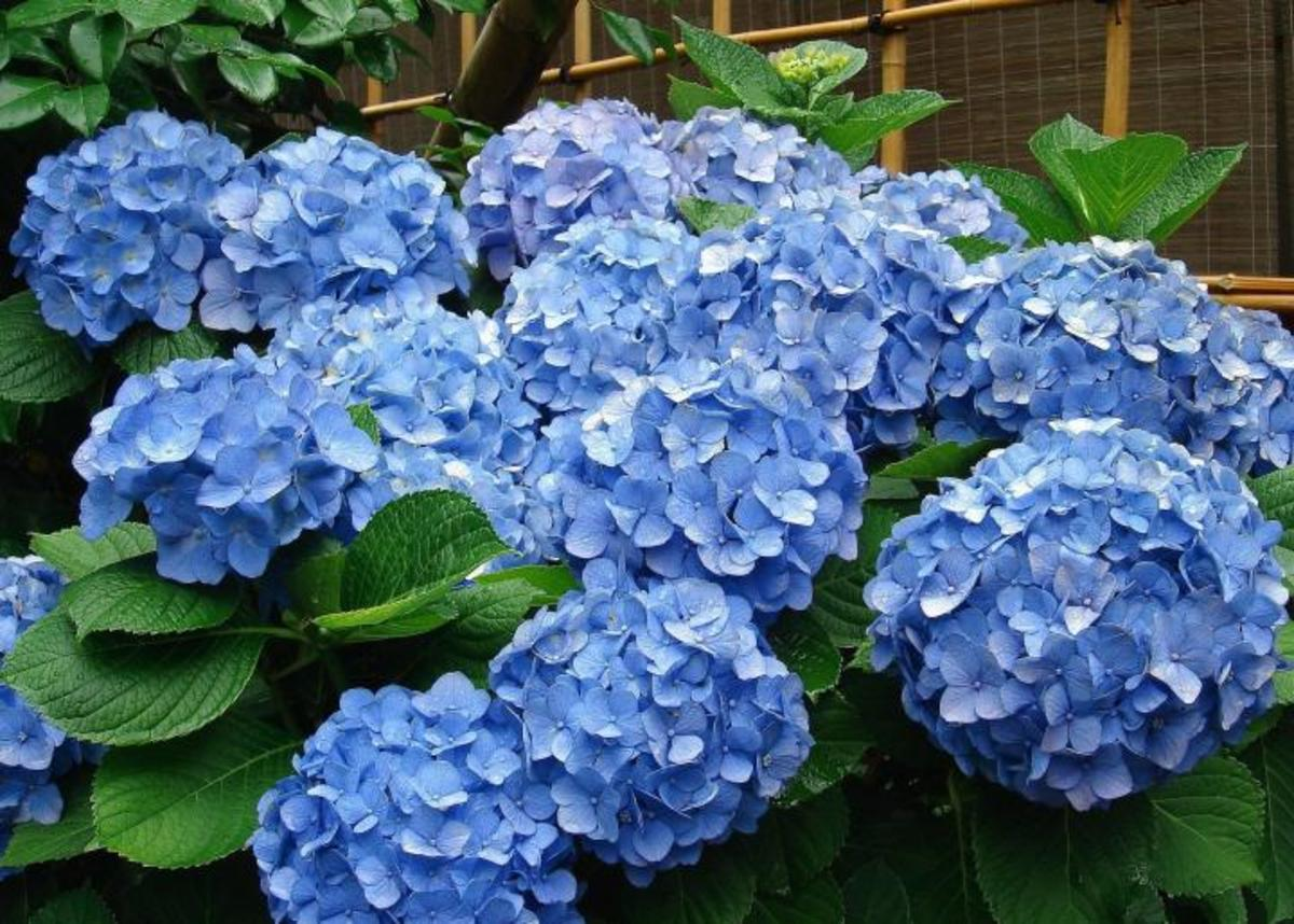 Hydrangeas do best in sun to partial shade. If they don't get enough sun, they might still produce beautiful leaves, but not flowers.