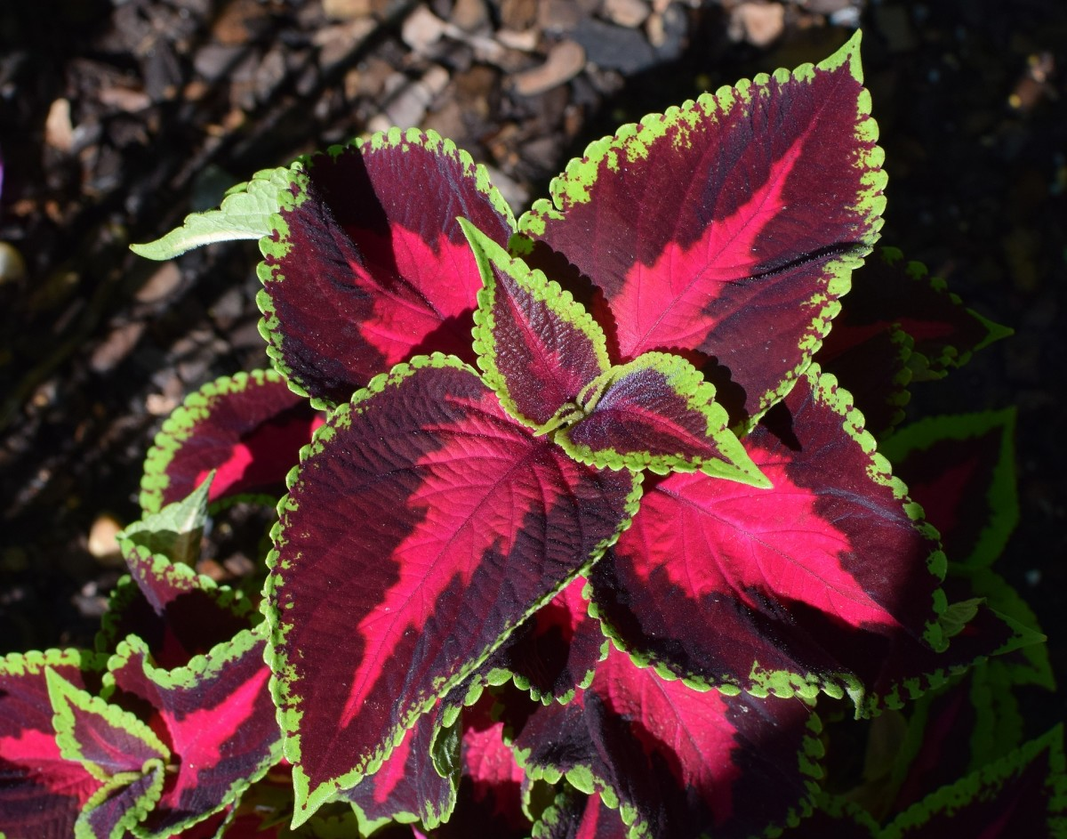 Stunning multi-colored coleus plant.
