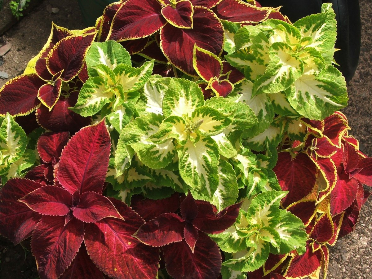 How to Care for the Coleus Plant