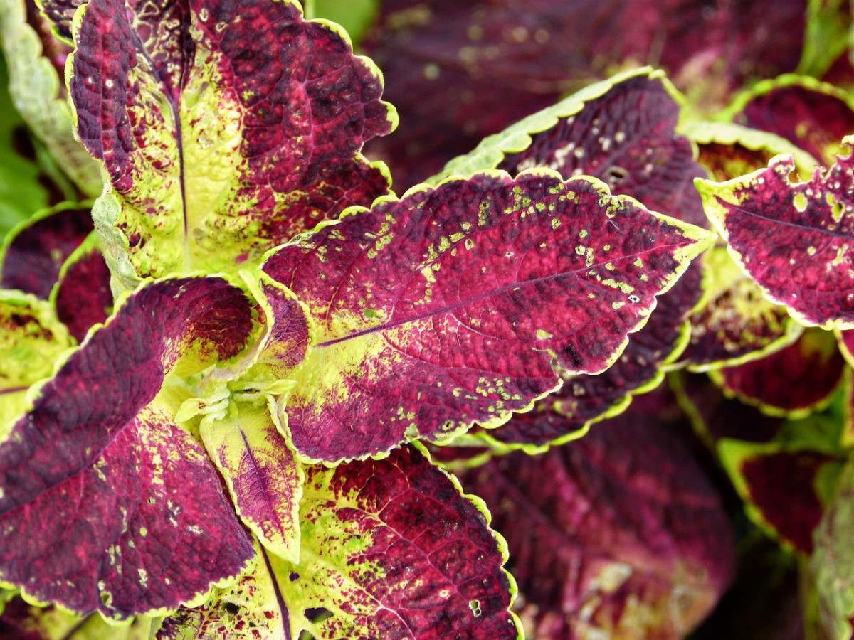 Close-up view of the coleus plant.