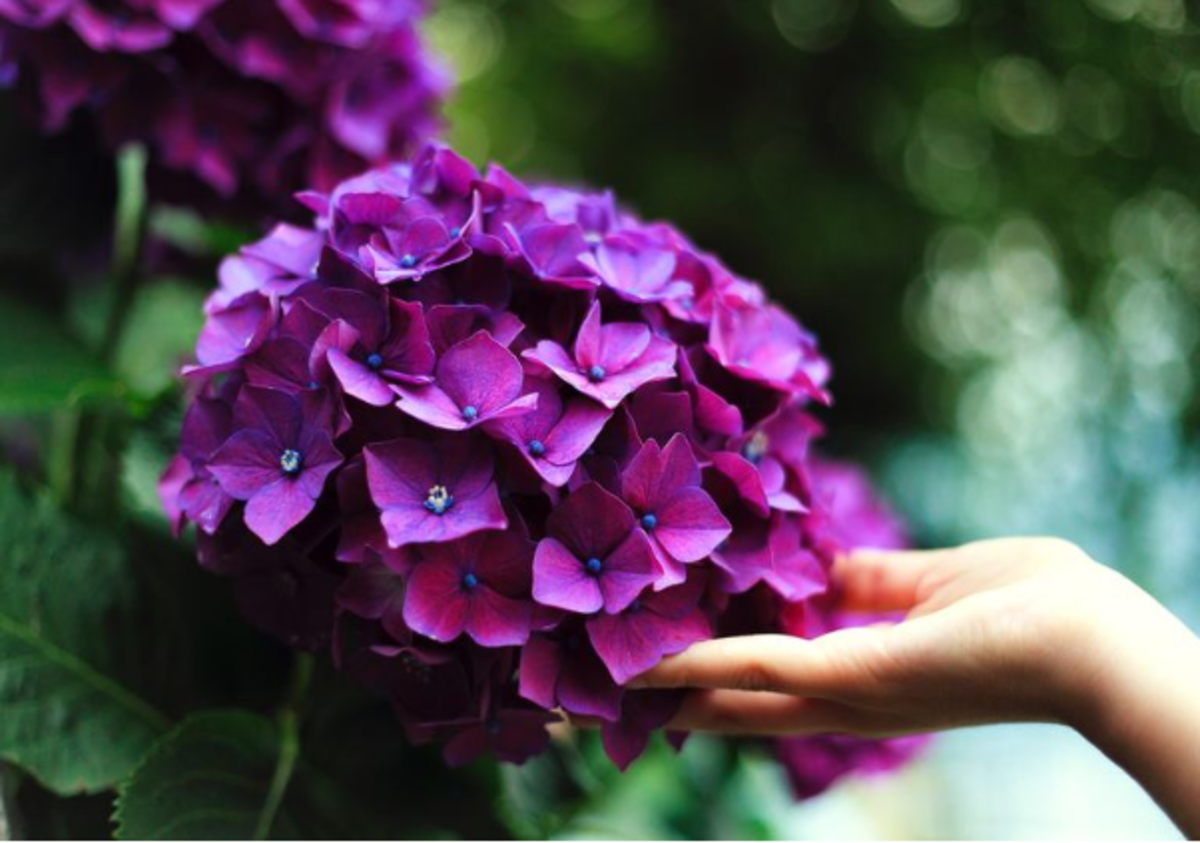 When, Why, and How to Transplant Hydrangeas