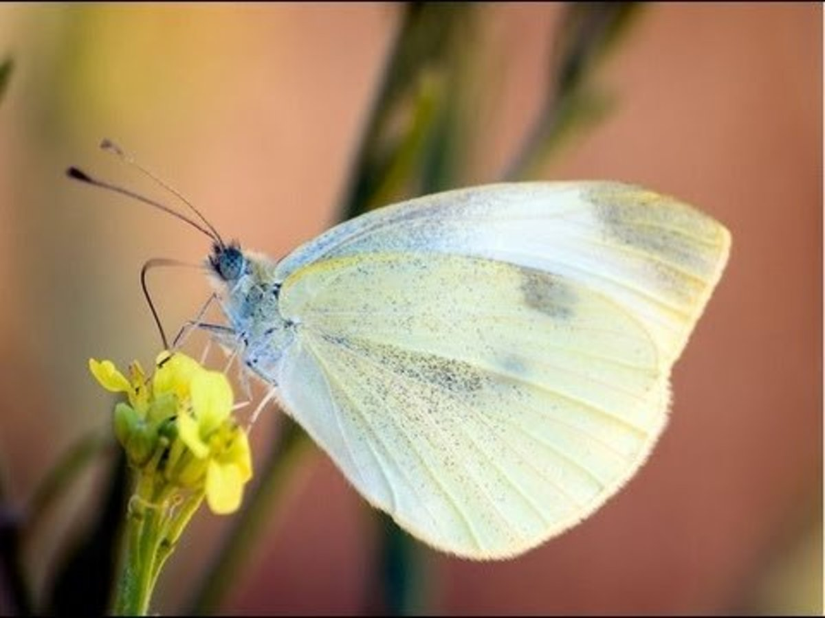 White cabbage moth.