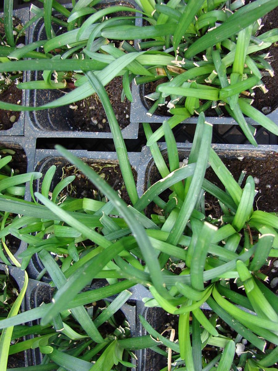 Liriope Seedlings Started Indoors