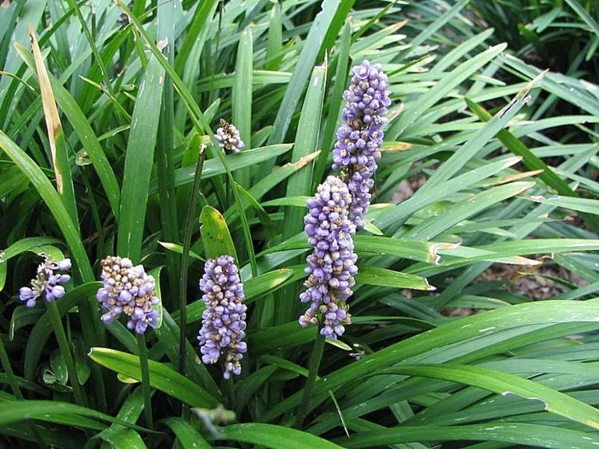 Liriope muscari has flowers that look like grape hyacinths (muscari) for which it was named.
