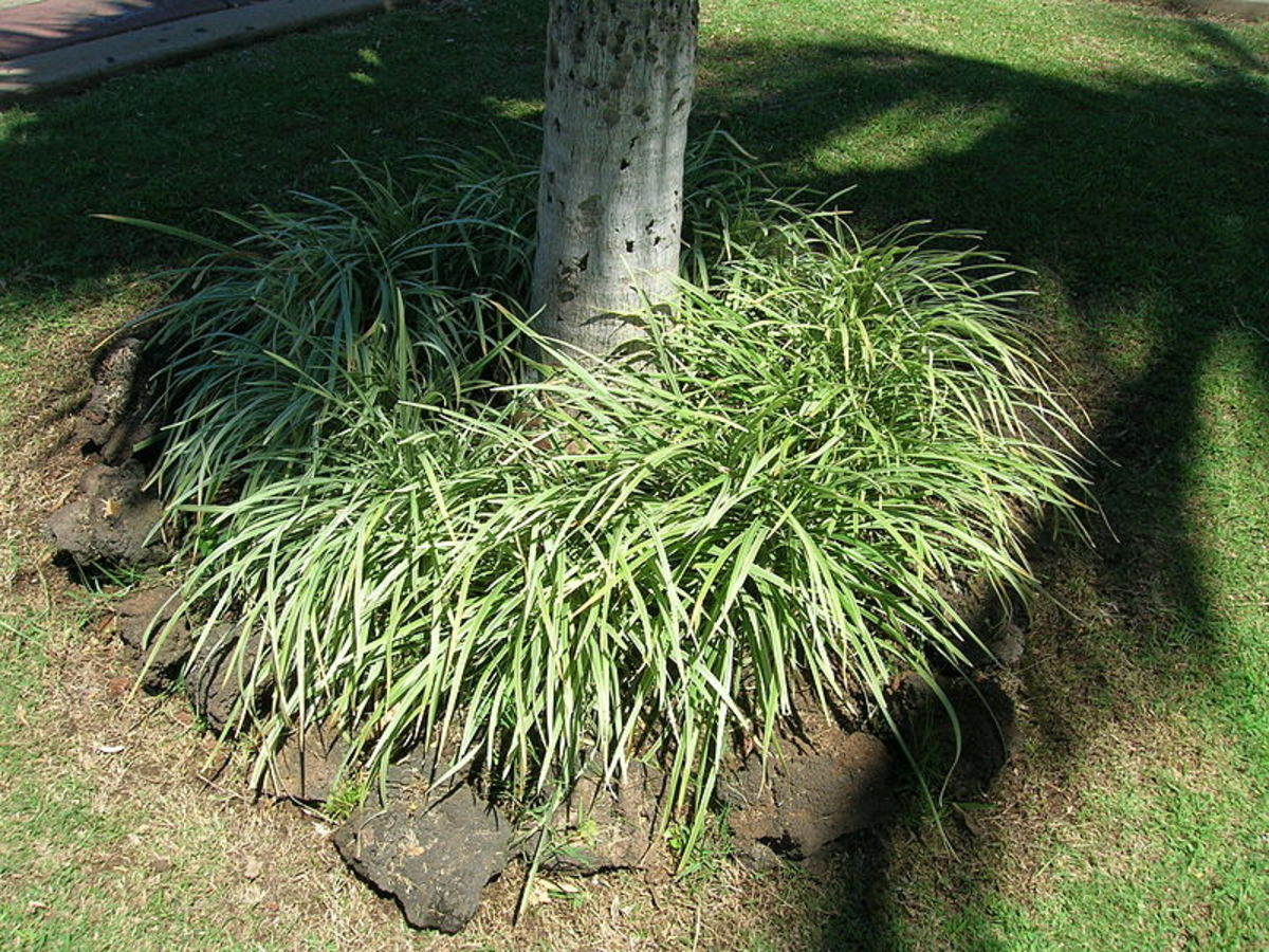 Liriope spicata used as a ground cover under a tree.  Note the ring of rocks placed around it to prevent its spread.