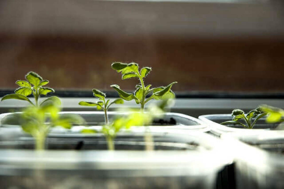 Tomato seedlings basking in the sun on a windowsill.