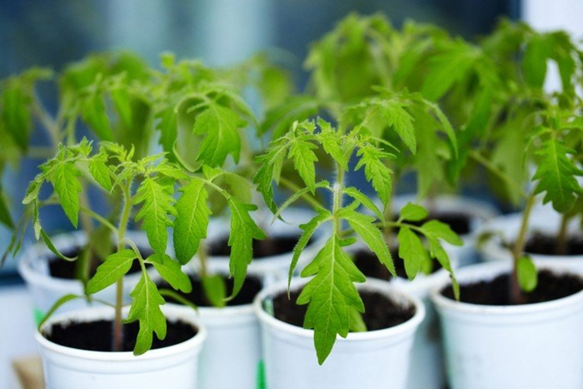 Transplanting tomato plants from containers to the garden (or to other containers) is not a difficult process, but you must closely follow certain steps. This guide will show you how to do it like a pro.