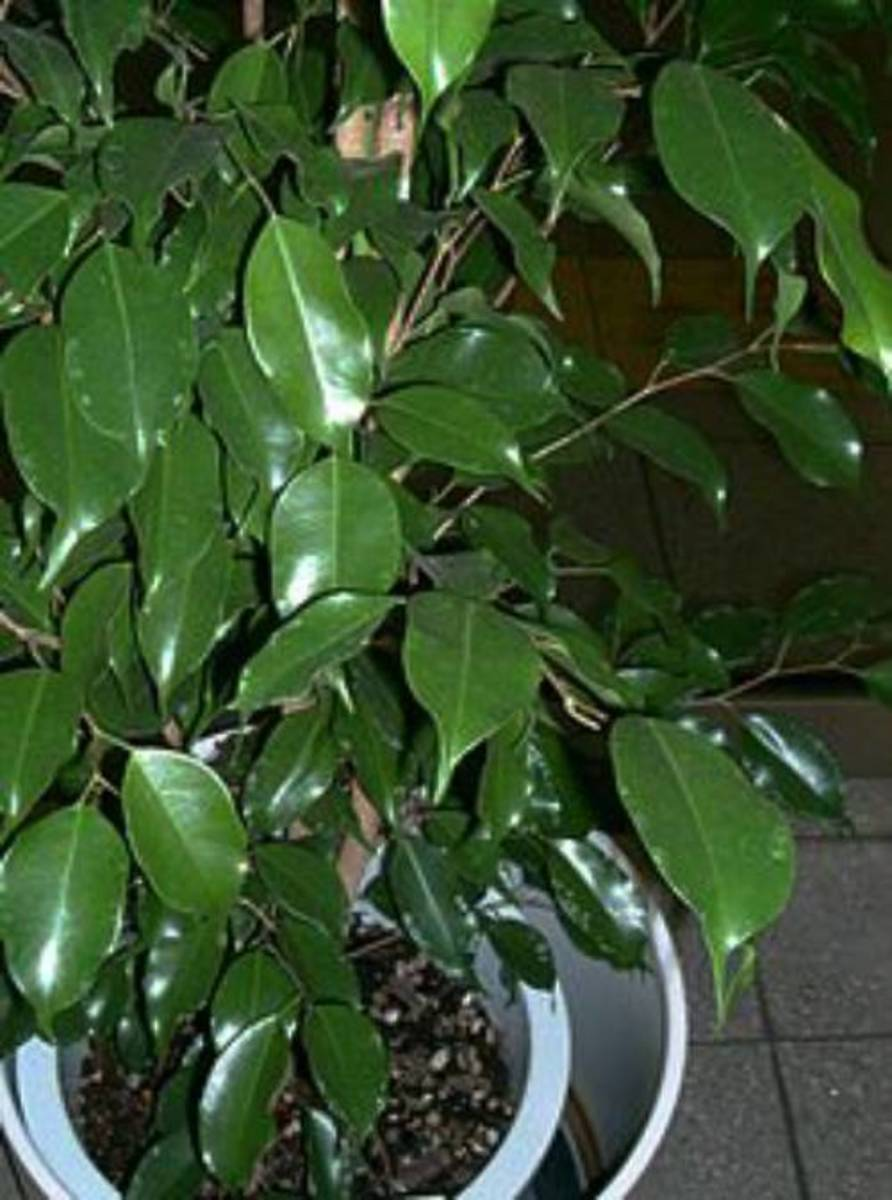 Delicate plants like ficus are very wary of any movement. Find the right spot and keep them in one place.