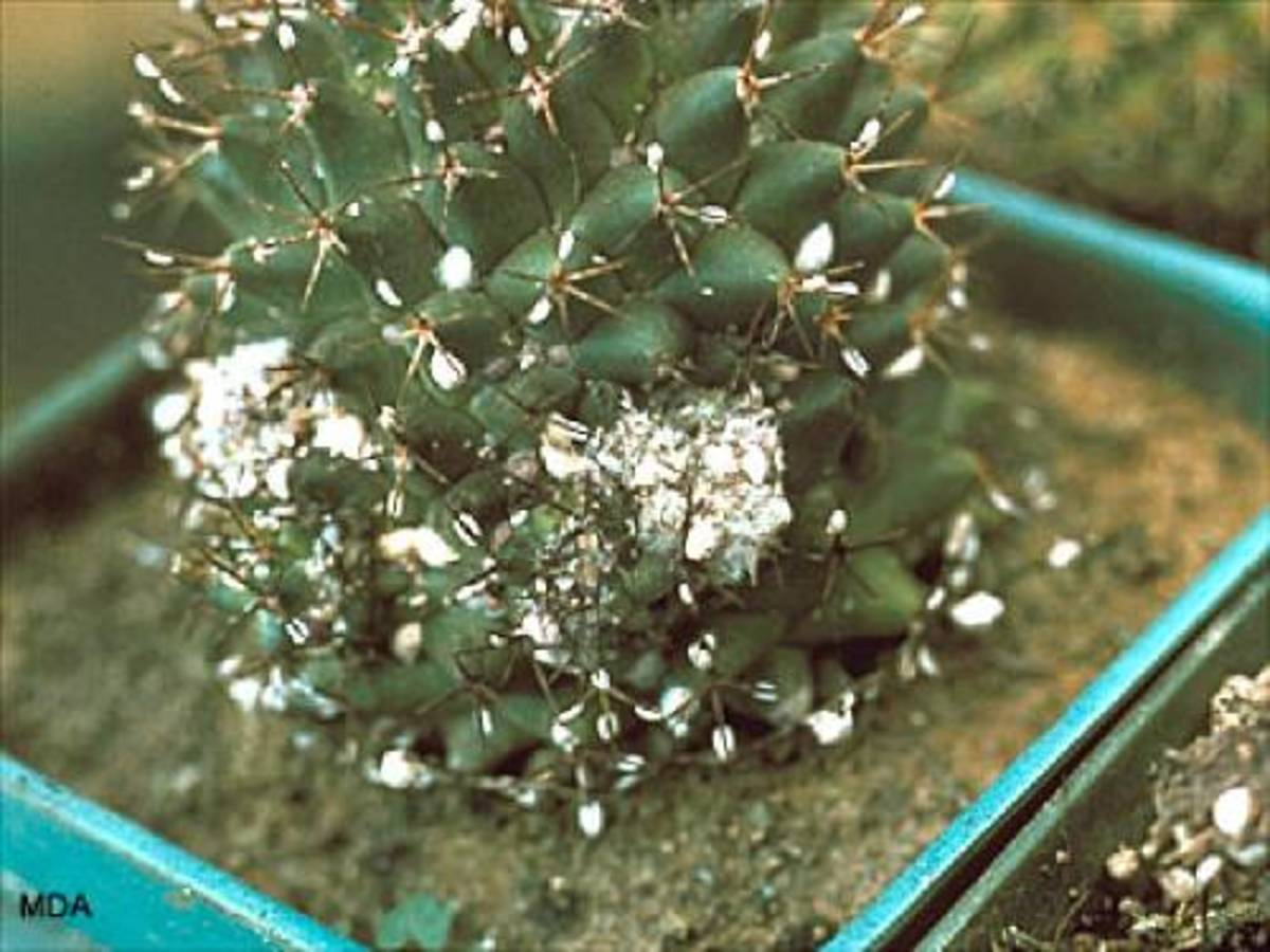 Cactus plants can even be taken over by mealybugs.