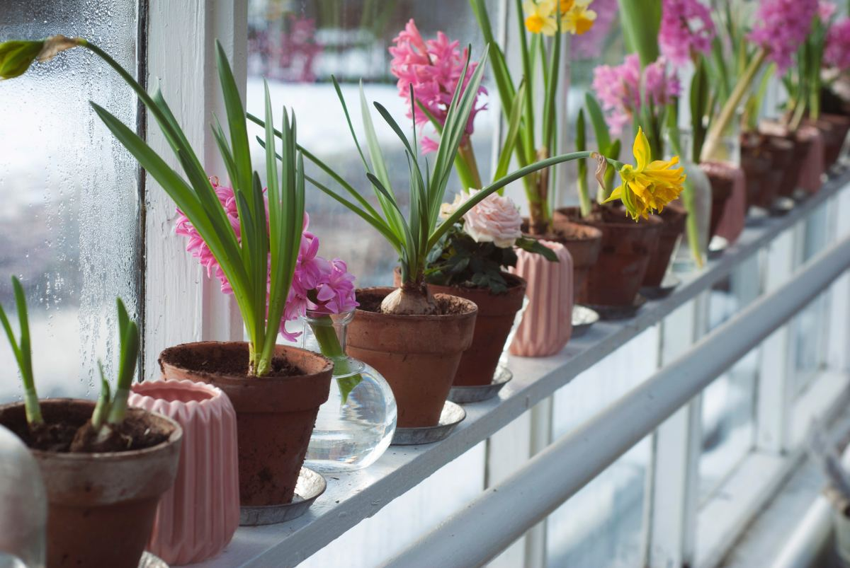 Delicate indoor plants should be protected from window drafts.