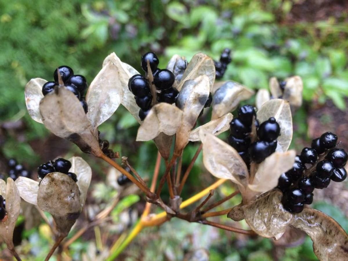 The seed pods of a blackberry lily resemble ripe blackberries, but they are not edible.