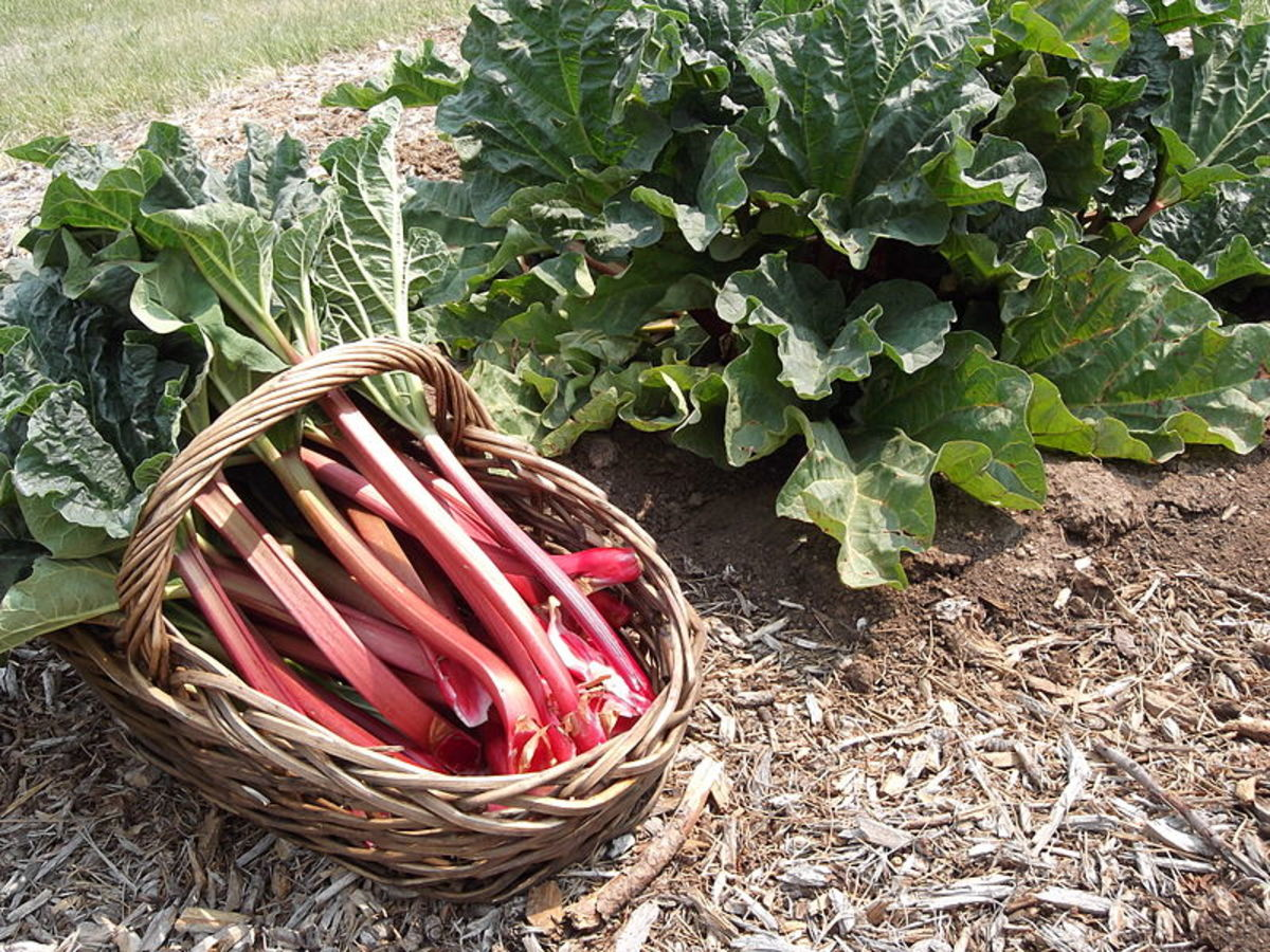 How to Grow Rhubarb, a Perennial Vegetable