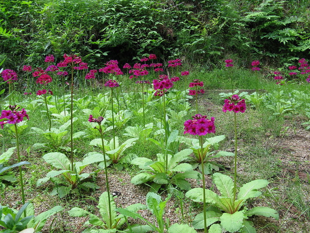 Japanese primroses grow best along streams