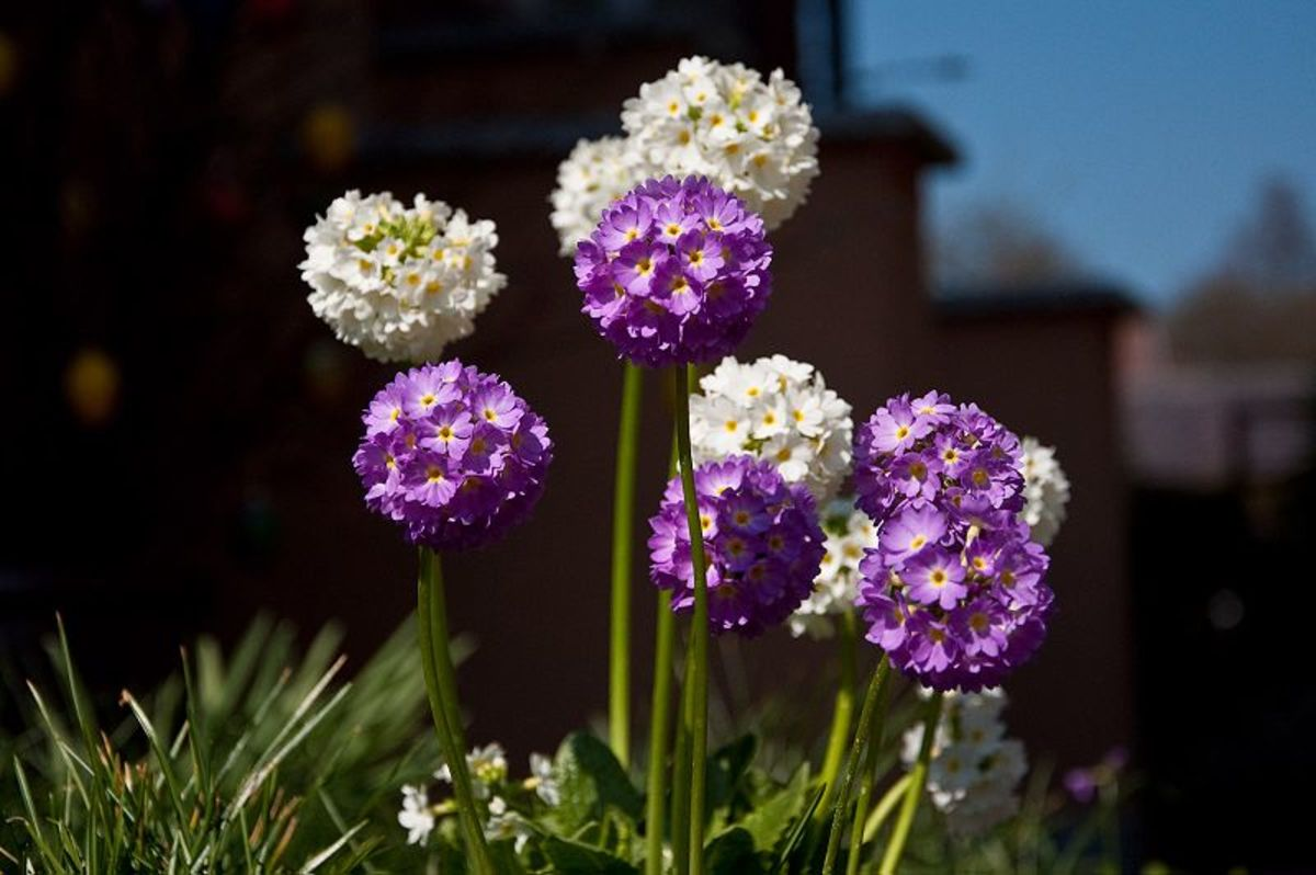 Drumstick primroses look like alliums but are not related to them.