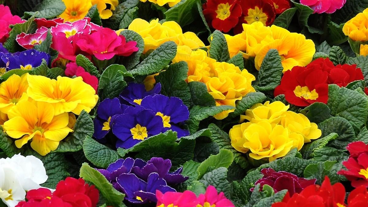How to Grow Primroses, a Cottage Garden Favorite