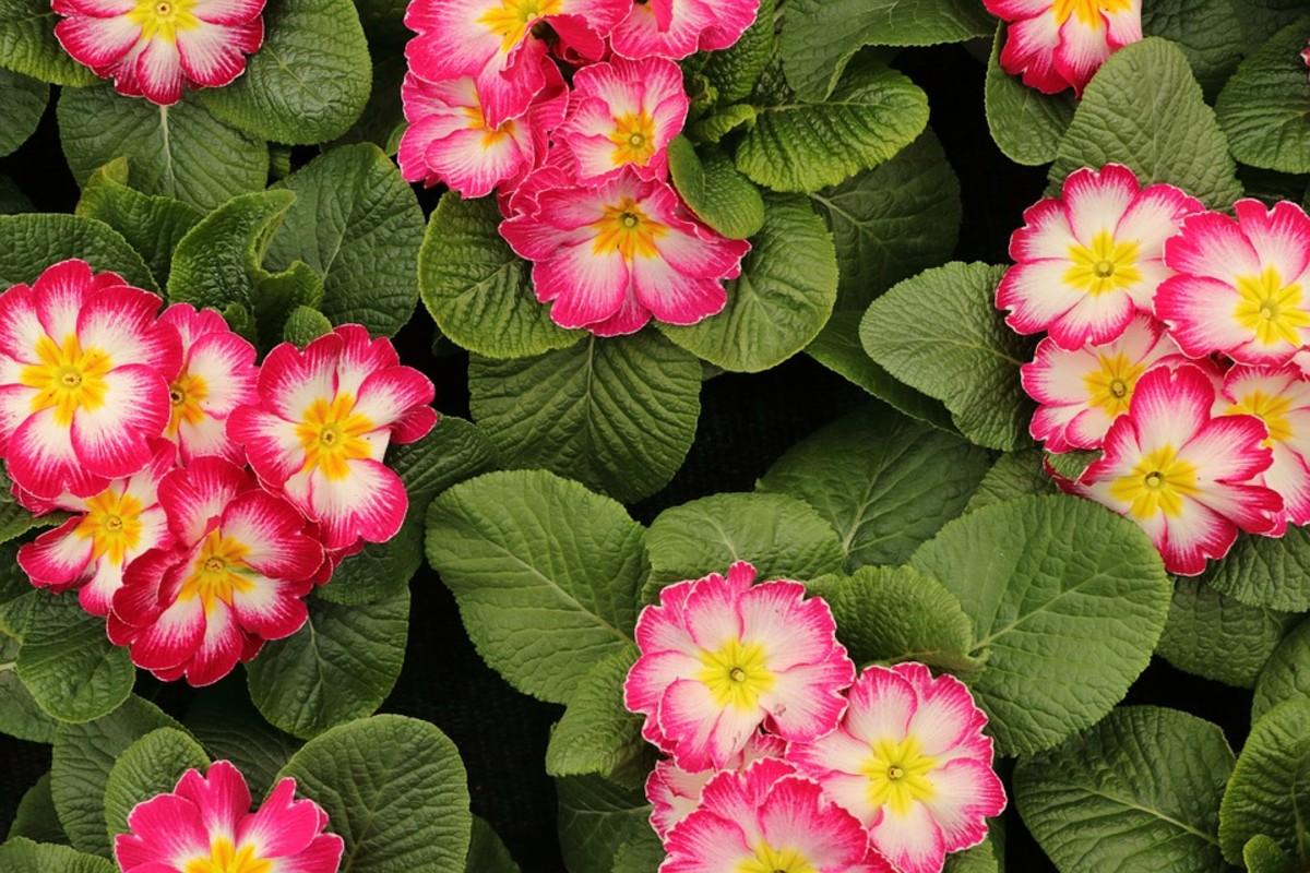 Bi-color primroses