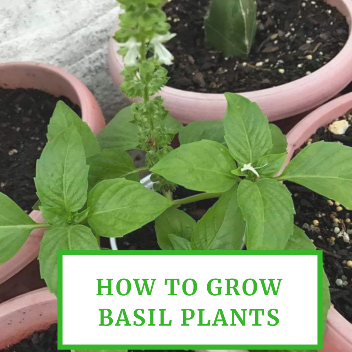 How to Grow Basil Plants in Your Garden