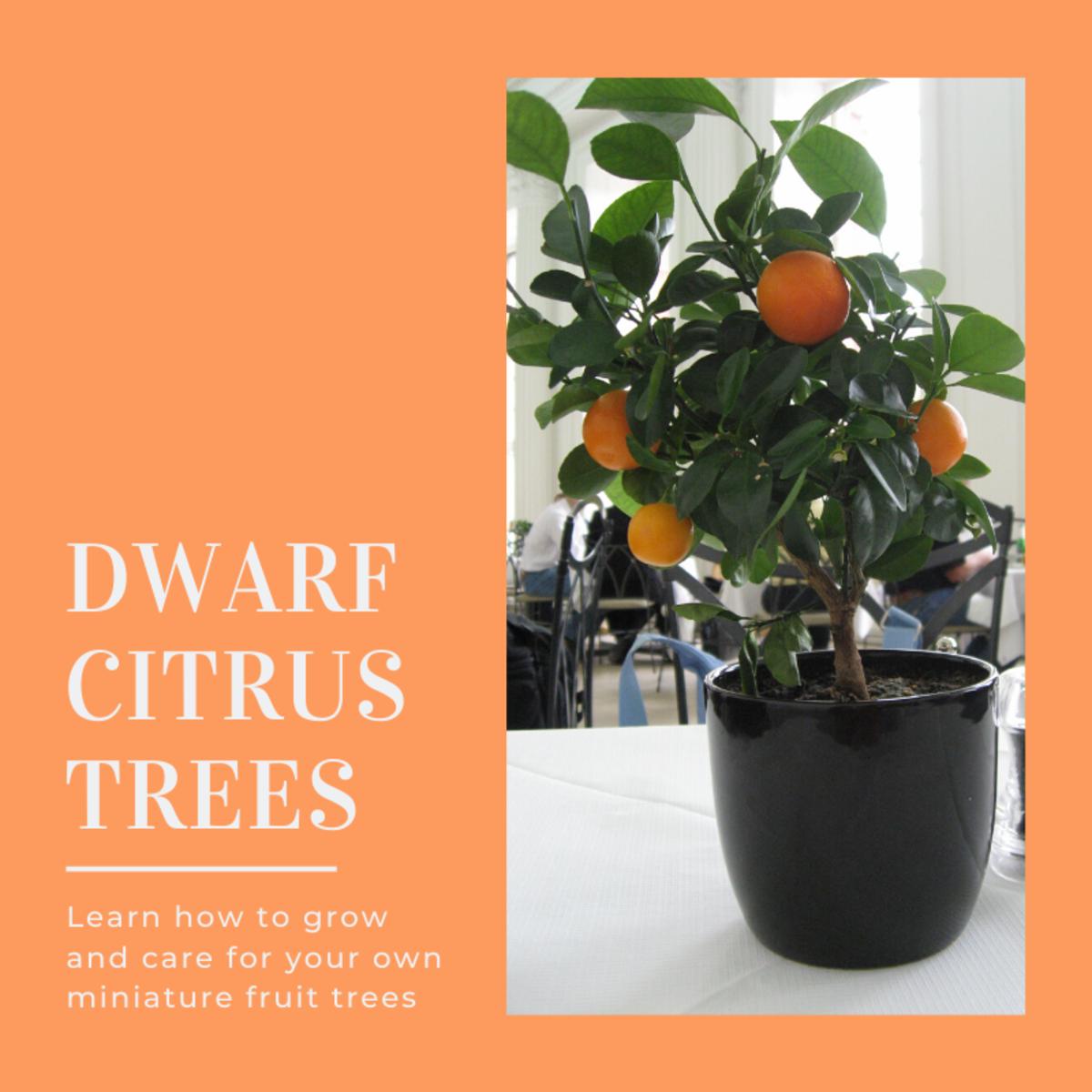 How To Grow A Dwarf Citrus Tree Dengarden