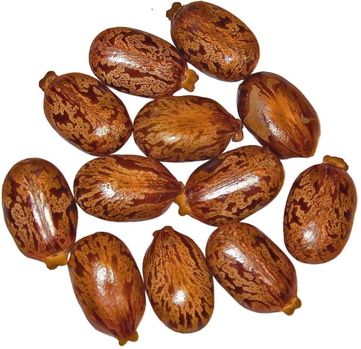 Castor bean seeds look like beans.
