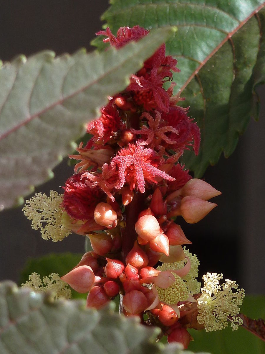 Castor bean plants produce both male and female flowers on the same plant.
