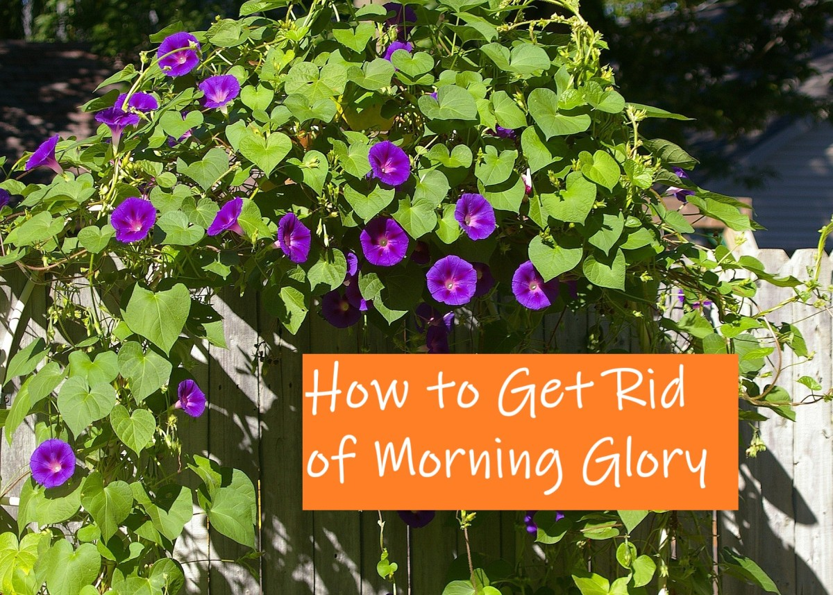 How to Get Rid of Morning Glory Safely & Permanently