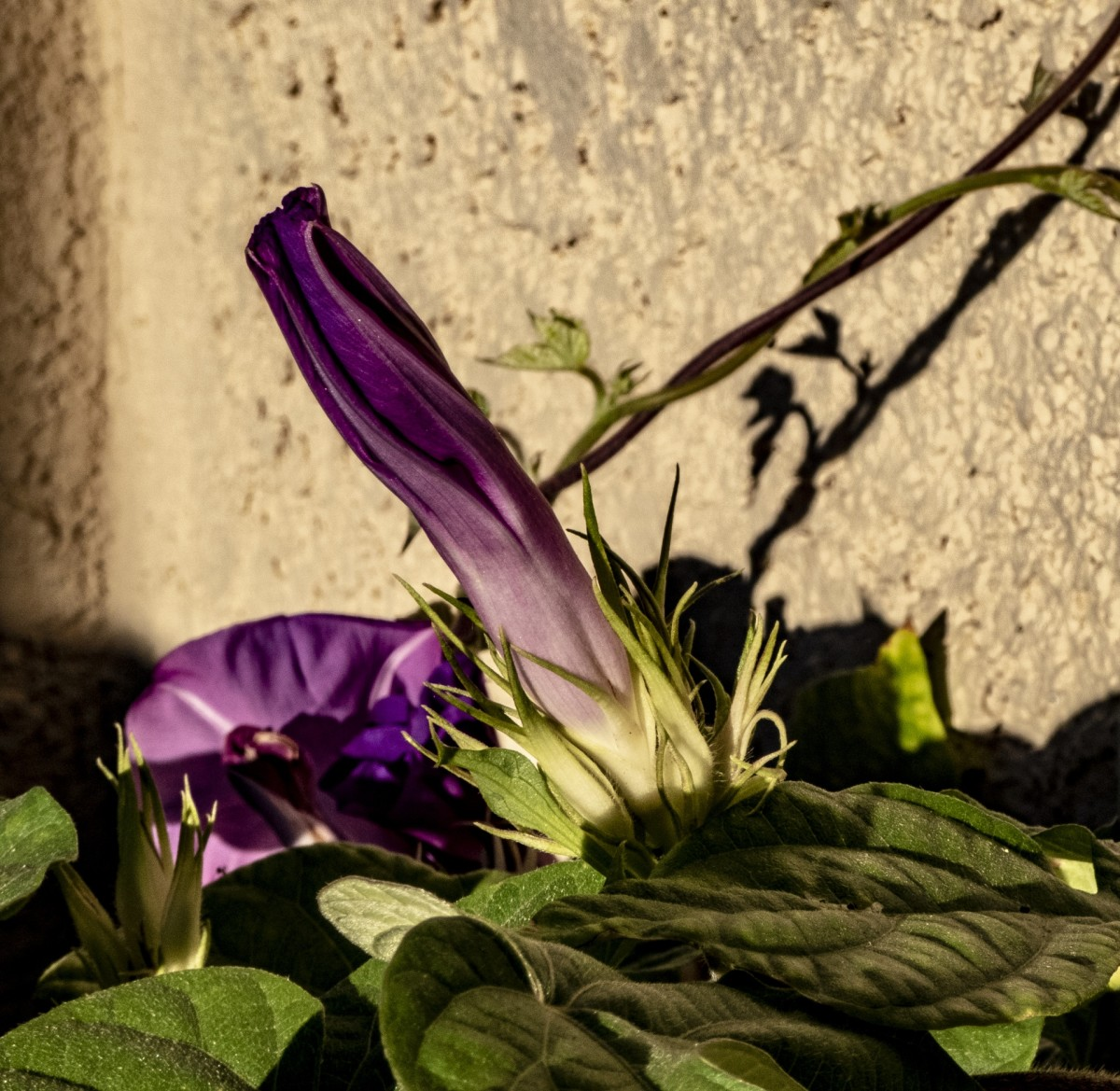 how-to-get-rid-of-morning-glory-safely-permanently