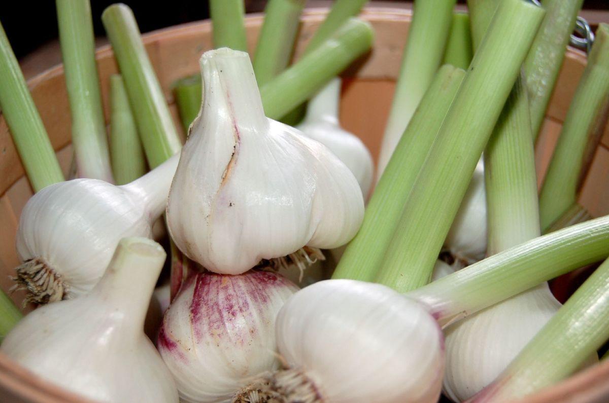 Garlic ready for harvesting.