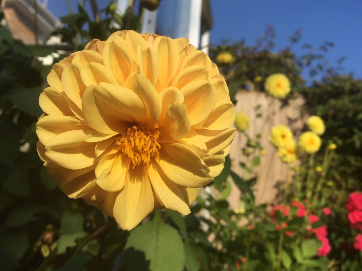 growing-dahlias-made-simple