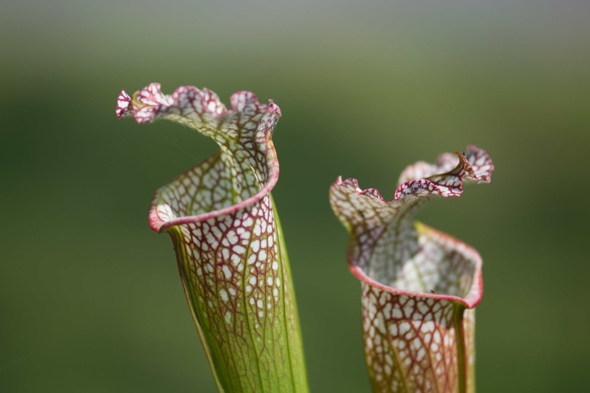 Pitcher plants are hassle-free, exotic-looking, and will even remove bugs from your house for you