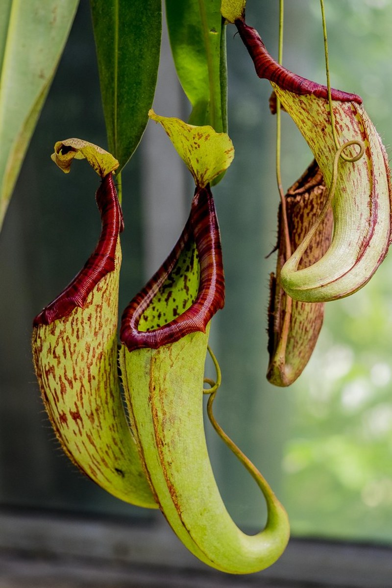 Nepenthes pitcher plants are an attractive, exotic hanging plant and very easy to grow.