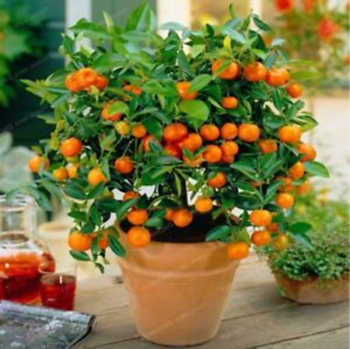 It looks like gardening wizardry, but dwarf citrus trees make excellent house plants, producing both fruit and fragrant blossoms with minimal fuss.