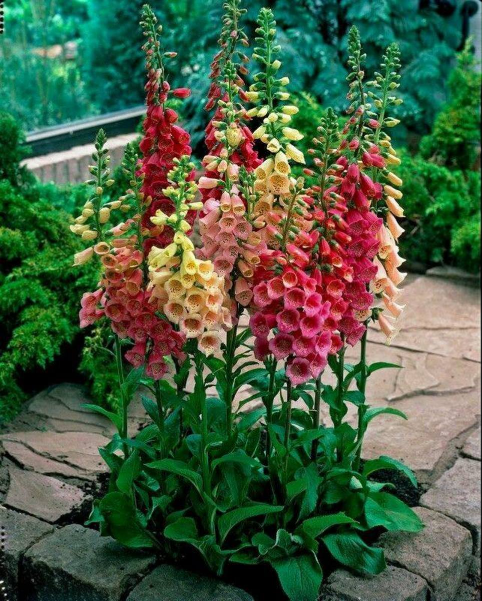 Foxgloves are stately and beautiful and will fill the bill if you are looking for something that will create a vertical statement in your garden.