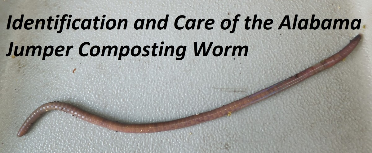 This article will help you identify and care for your Alabama Jumper worms.