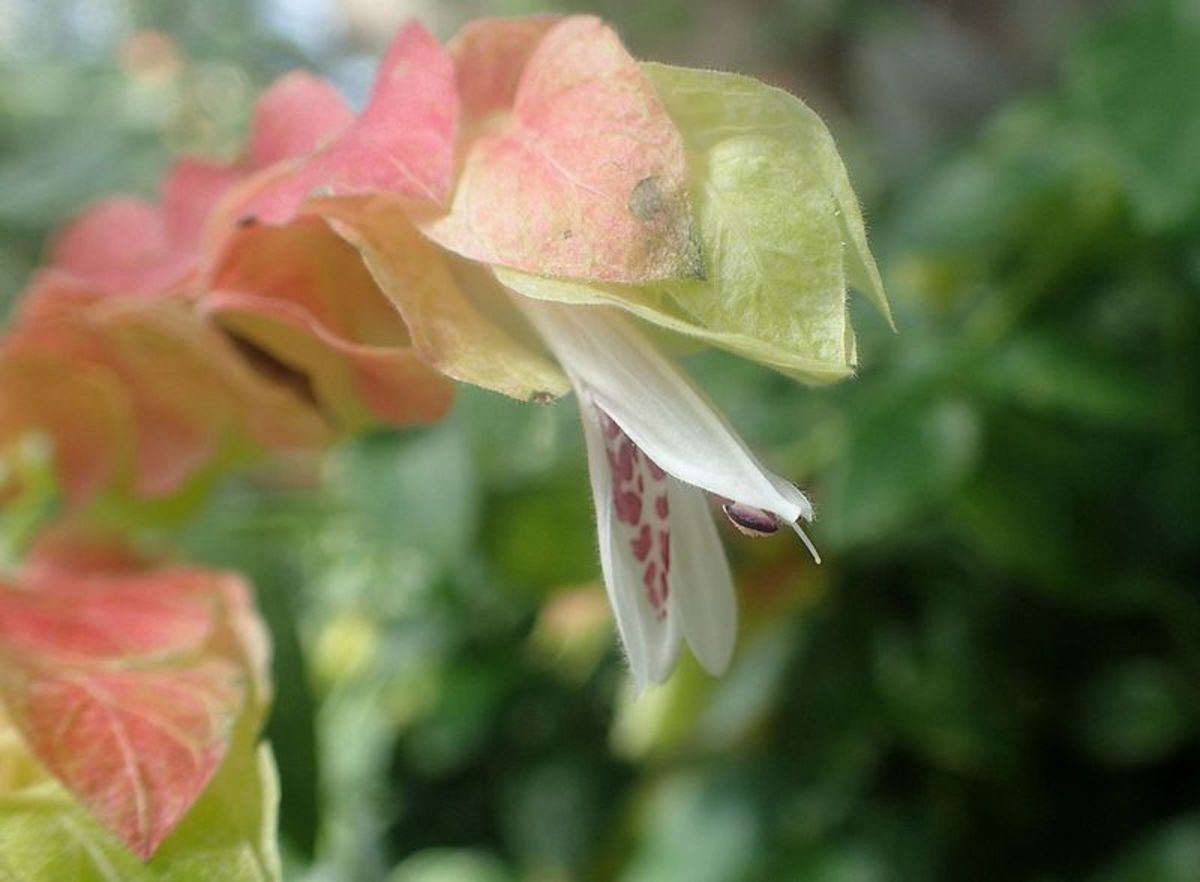 Shrimp plant flowers grow from the pink bracts.  They are white with purple markings.