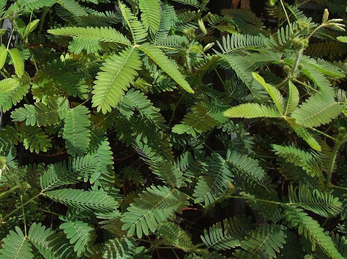 How to Grow a Sensitive Plant as a Houseplant
