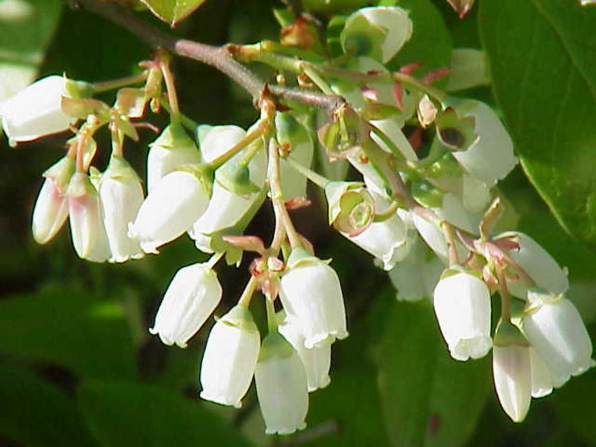 All blueberries have bell-shaped flowers.