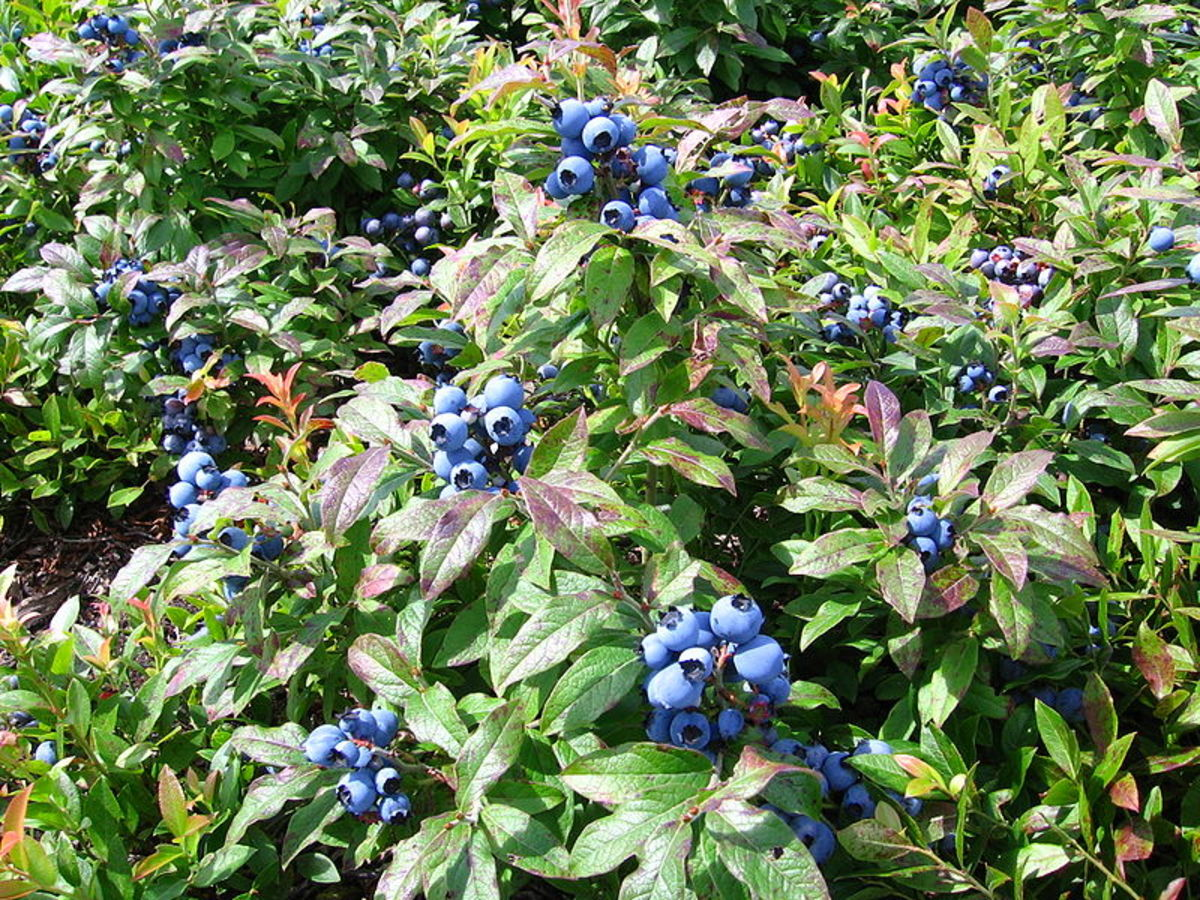 Lowbush blueberries sprawl along the ground.  They are the blueberries that you find in the wild.