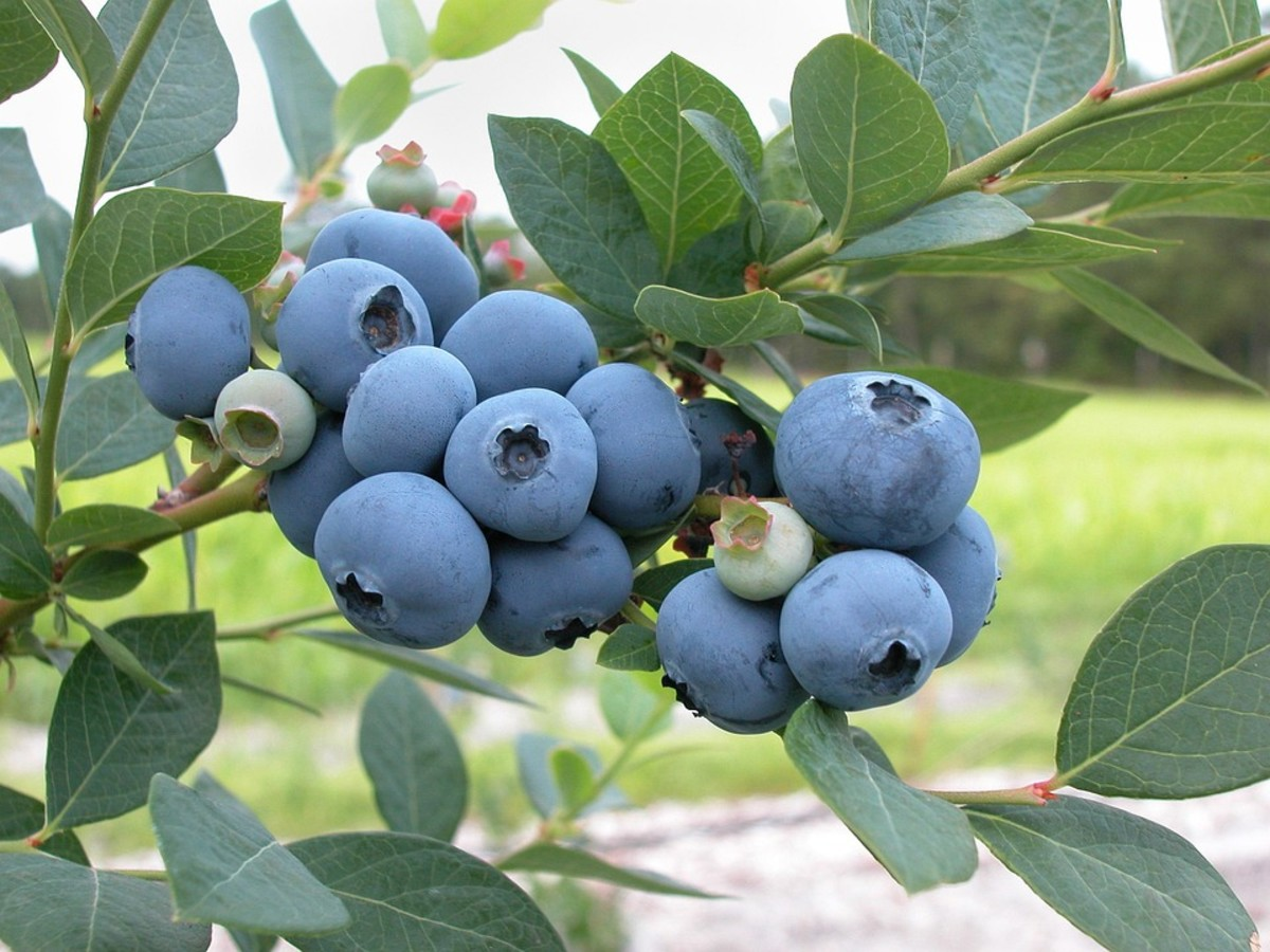How to Grow Blueberries, a Native Berry