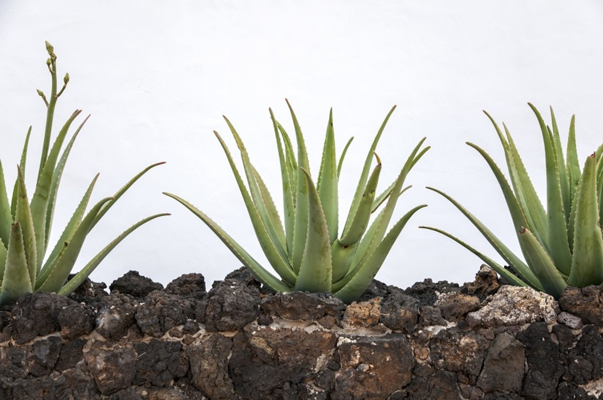 Spread out aloe vera to give the roots the room they need.